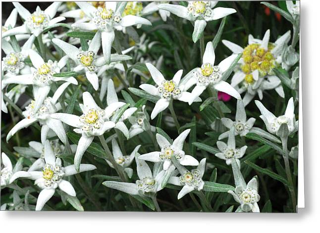 Close Up Of A Edelweiss Flowers Greeting Card by Anne Keiser
