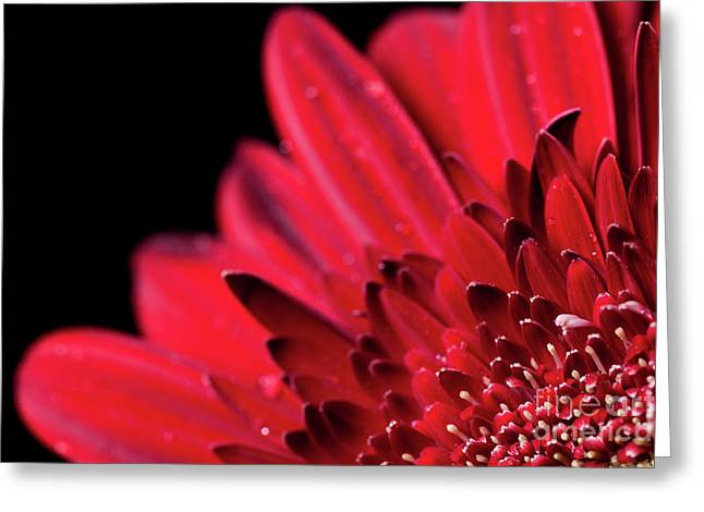 Close Up Of A Red Gerbera Daisy Flower Greeting Card