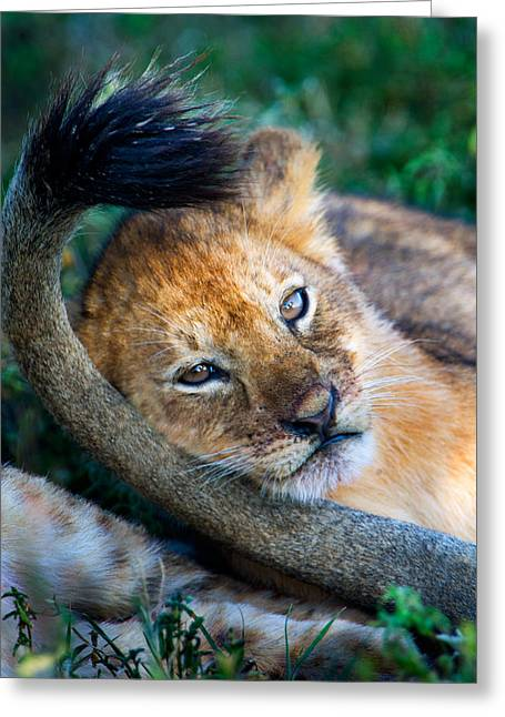 Close-up Of African Lion Panthera Leo Greeting Card by Panoramic Images