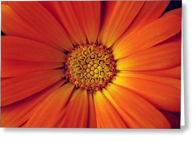 Close Up Of An Orange Daisy Greeting Card by Ralph A  Ledergerber-Photography