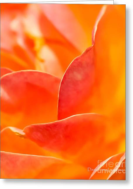 Greeting Card featuring the photograph Close-up Of An Orange Rose Flower by David Perry Lawrence