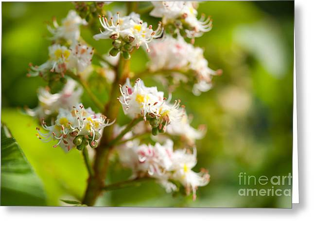 Close-up Of Blooming Aesculus On Green  Greeting Card