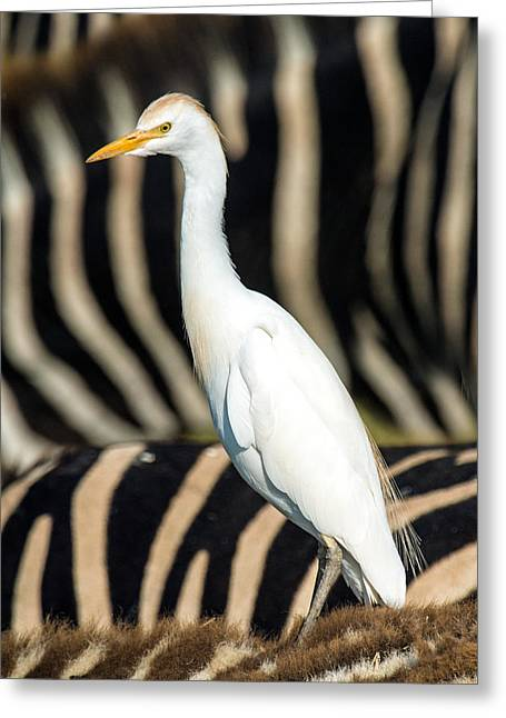 Close-up Of Cattle Egret Bubulcus Ibis Greeting Card by Panoramic Images
