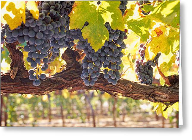 Close-up Of Grapes In A Vineyard, Napa Greeting Card by Panoramic Images