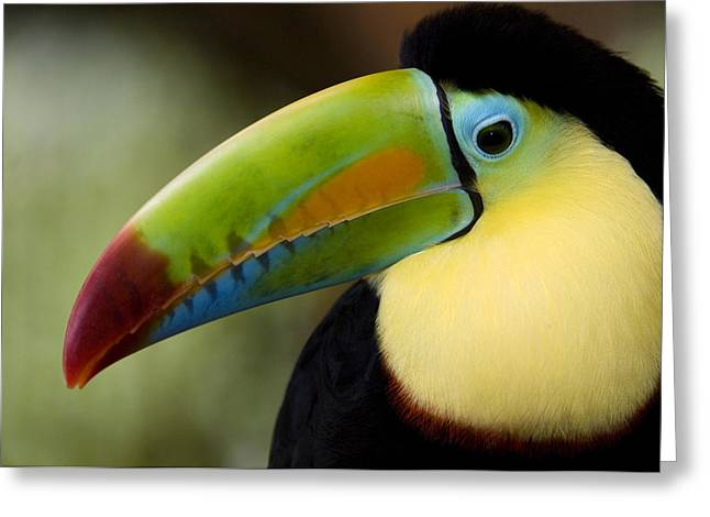Close-up Of Keel-billed Toucan Greeting Card
