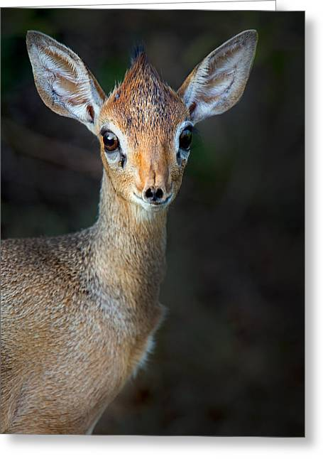 Close-up Of Kirks Dik-dik Madoqua Greeting Card