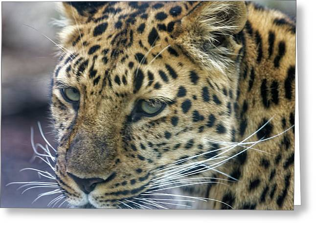 Close Up Of Leopard Greeting Card