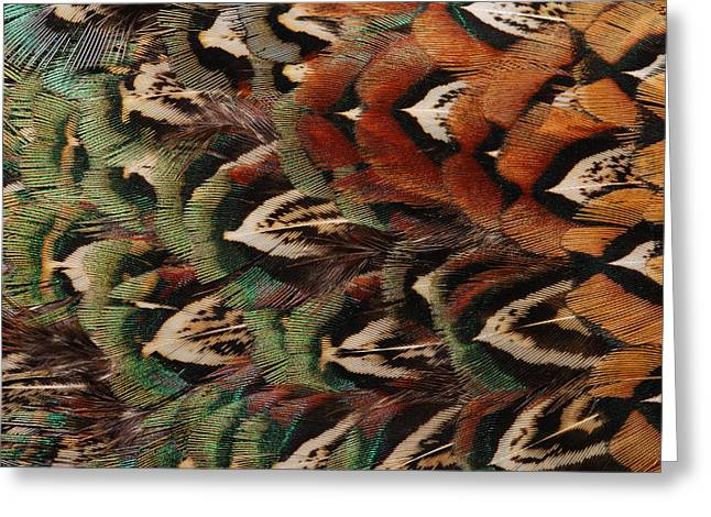 Iridescence Greeting Cards - Close Up Of Pheasant Feathers Greeting Card by Darlyne A. Murawski