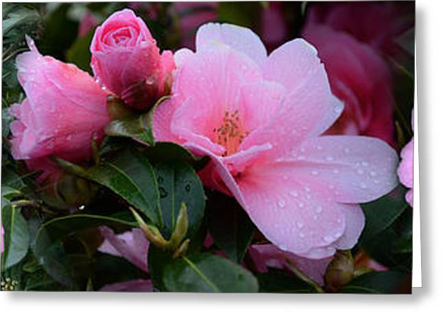 Close-up Of Pink Camellia Flowers Greeting Card by Panoramic Images