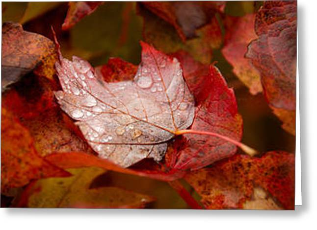 Close-up Of Raindrops On Maple Leaves Greeting Card