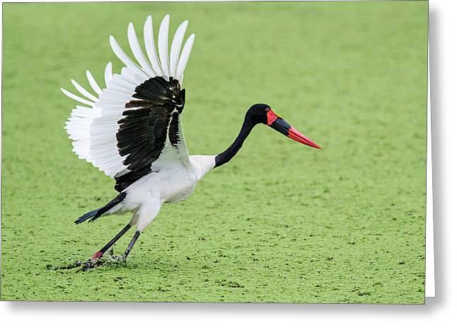 Close-up Of Saddle-billed Stork Greeting Card