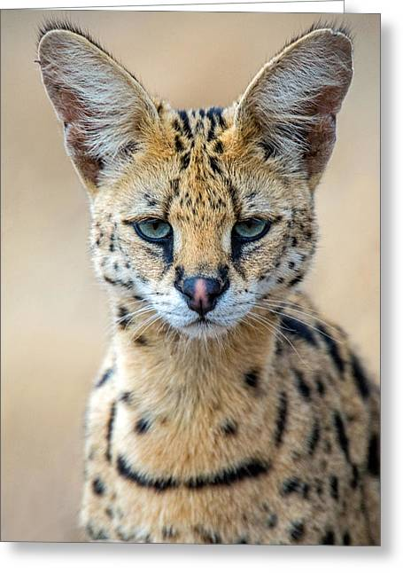 Close-up Of Serval Leptailurus Serval Greeting Card by Panoramic Images