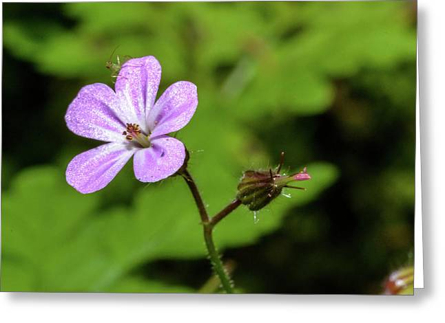 Close Up Of Shining Cranesbill A Greeting Card