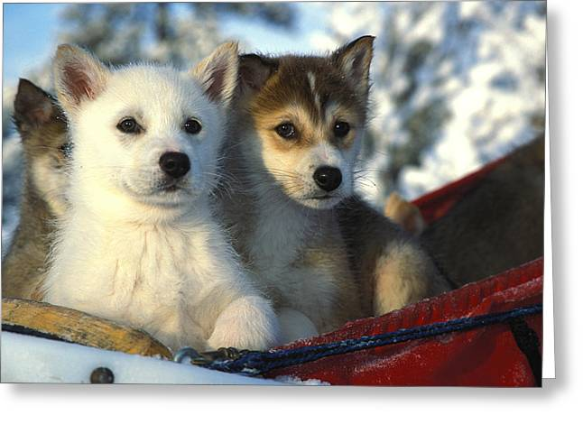 Huskies Greeting Cards - Close Up Of Siberian Husky Puppies Greeting Card by Nick Norman