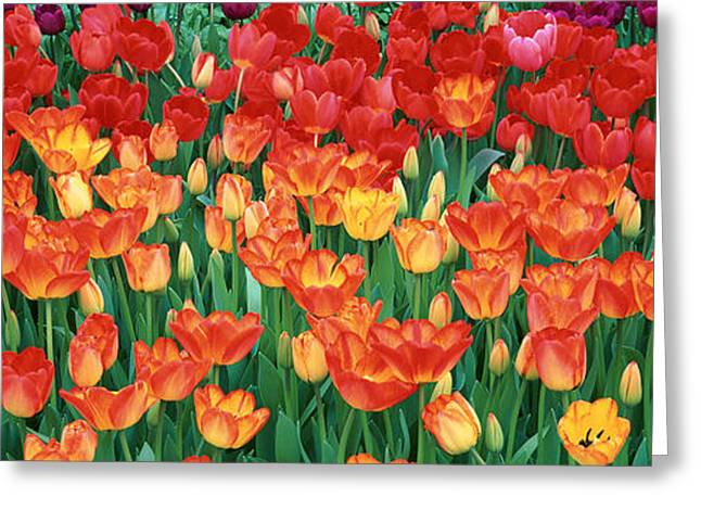 Close-up Of Tulips In A Garden Greeting Card by Panoramic Images