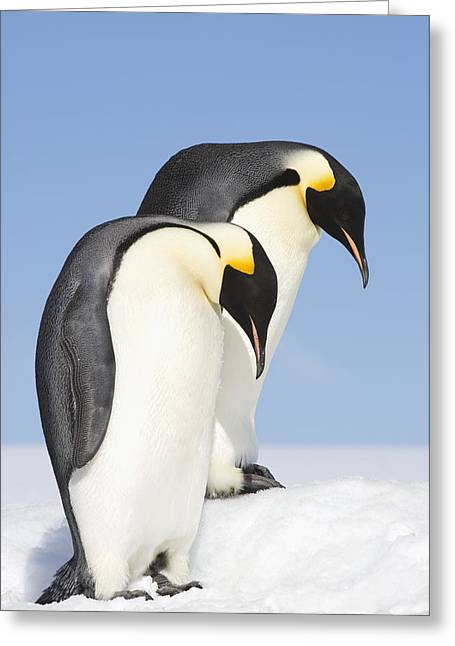 Close Up Of Two Adult Emperor Penguins Greeting Card by Daisy Gilardini