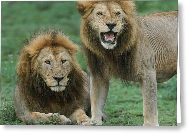 Close-up Of Two African Lions Panthera Greeting Card by Panoramic Images