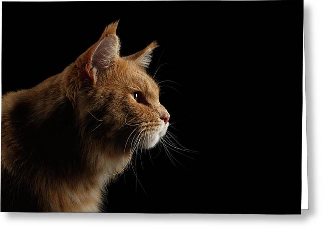 Close-up Portrait Ginger Maine Coon Cat Isolated On Black Background Greeting Card