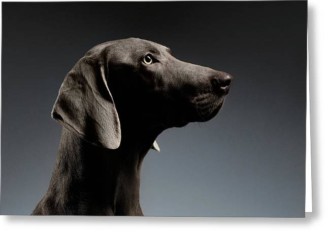 Close-up Portrait Weimaraner Dog In Profile View On White Gradient Greeting Card