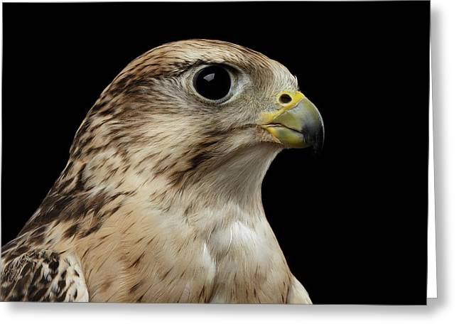Close-up Saker Falcon, Falco Cherrug, Isolated On Black Background Greeting Card by Sergey Taran
