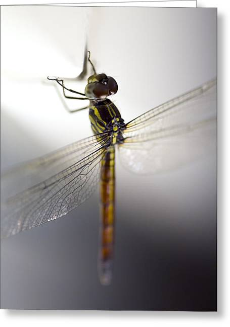 Close Up Shoot Of A Anisoptera Dragonfly Greeting Card by Ulrich Schade