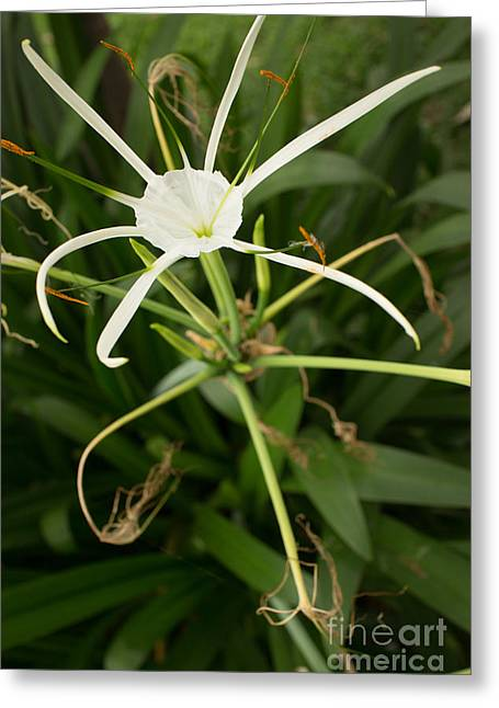 Close Up White Asian Flower With Leafy Background, Vertical View Greeting Card by Jason Rosette