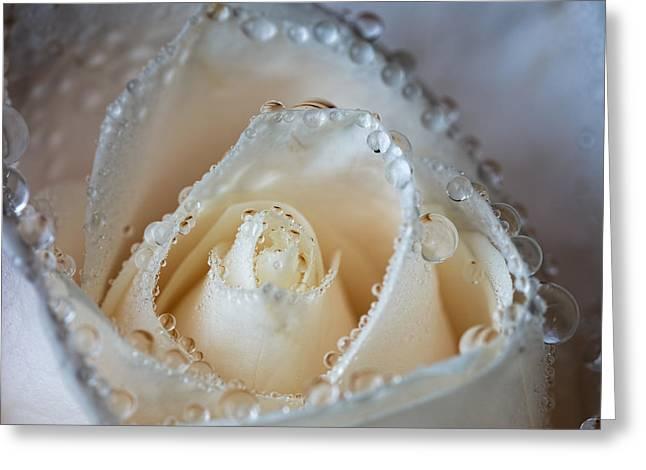 Close Up White Rose Greeting Card