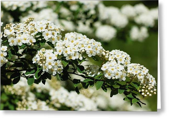 Greeting Card featuring the photograph Close-up White Spirea Bush by Cristina Stefan