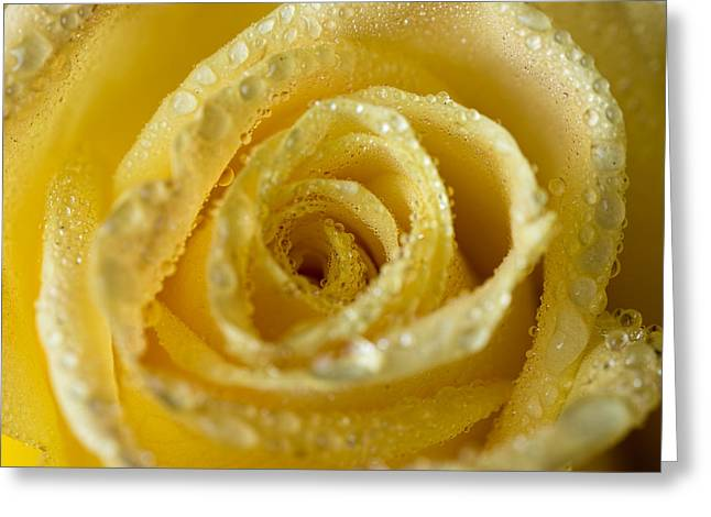 Close Up Yellow Rose Greeting Card
