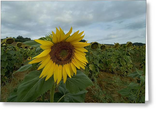 Close View Of A Sunflower In A Field Greeting Card by Todd Gipstein