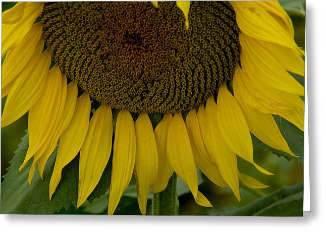 Close View Of A Sunflower In Tuscany Greeting Card by Todd Gipstein