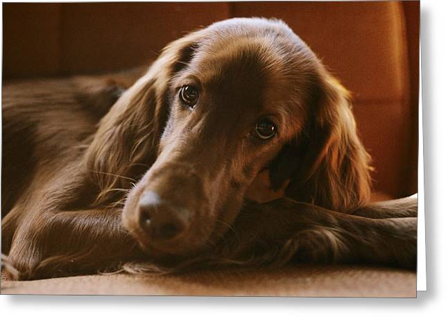 Bask Greeting Cards - Close View Of An Irish Setter Relaxing Greeting Card by Brian Gordon Green