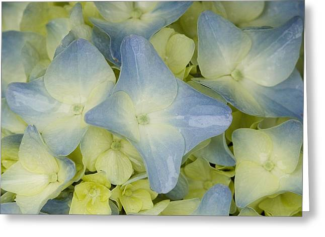 Close View Of Hydrangea Flower Greeting Card by Todd Gipstein
