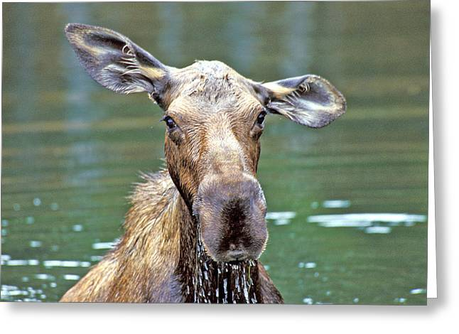 Close Wet Moose Greeting Card