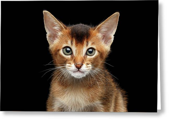 Closeup Abyssinian Kitty Curious Looking In Camera, Isolated Black Background Greeting Card