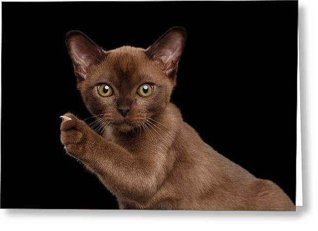 Closeup Burmese Kitten Showing Claw On Raised Paw, Black Isolated  Greeting Card by Sergey Taran