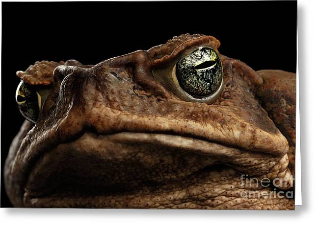 Closeup Cane Toad - Bufo Marinus, Giant Neotropical Or Marine Toad Isolated On Black Background Greeting Card