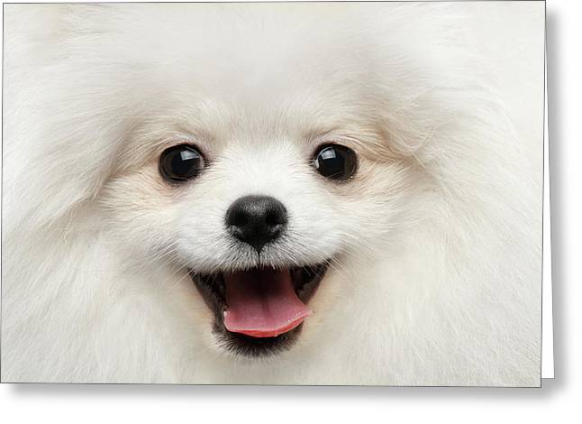 Closeup Furry Happiness White Pomeranian Spitz Dog Curious Smiling Greeting Card
