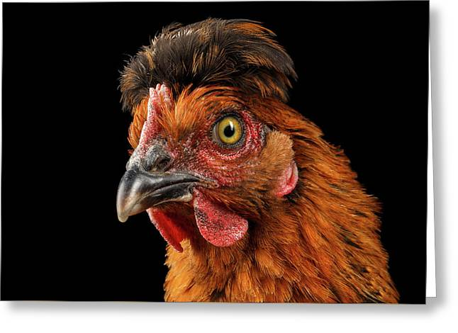 Closeup Ginger Chicken Isolated On Black Background In Profile View Greeting Card