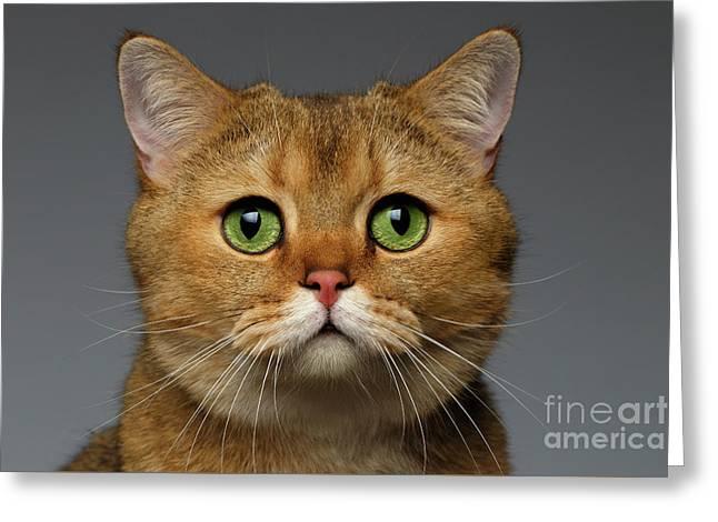 Closeup Golden British Cat With  Green Eyes On Gray Greeting Card by Sergey Taran