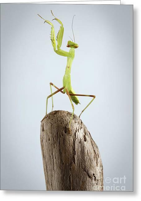 Closeup Green Praying Mantis On Stick Greeting Card
