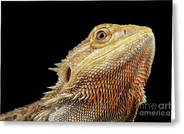 Closeup Head Of Bearded Dragon Llizard, Agama, Isolated Black Background Greeting Card