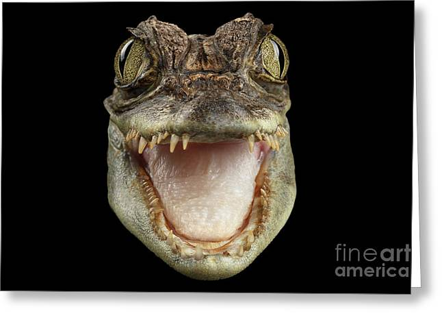 Closeup Head Of Young Cayman Crocodile , Reptile With Opened Mouth Isolated On Black Background, Fro Greeting Card