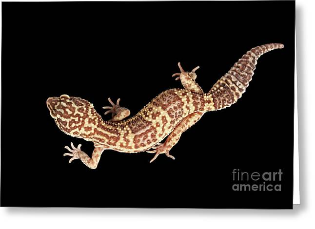 Closeup Leopard Gecko Eublepharis Macularius Isolated On Black Background Greeting Card