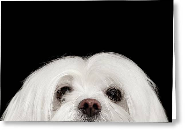 Closeup Nosey White Maltese Dog Looking In Camera Isolated On Black Background Greeting Card