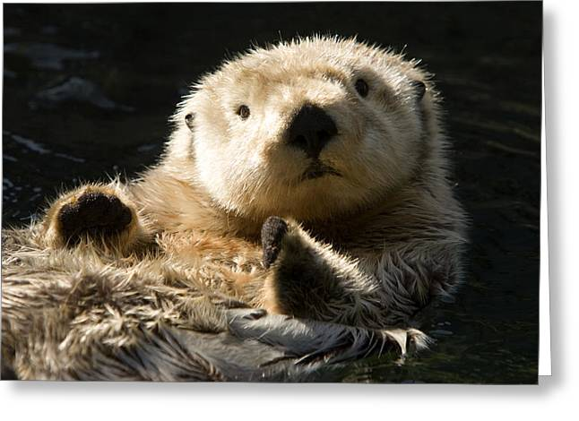 Anthropomorphism Greeting Cards - Closeup Of A Captive Sea Otter Making Greeting Card by Tim Laman
