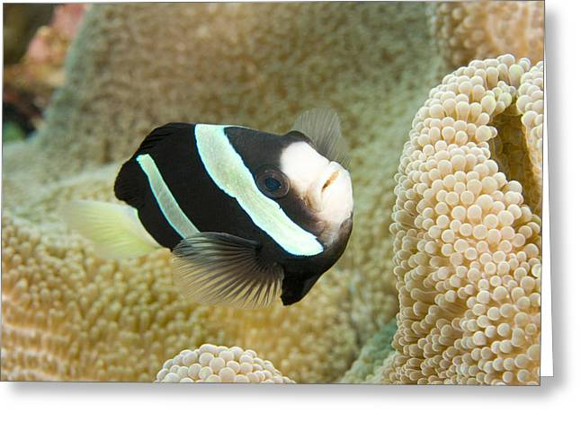 Closeup Of A Clarks Anemonefish Greeting Card by Tim Laman