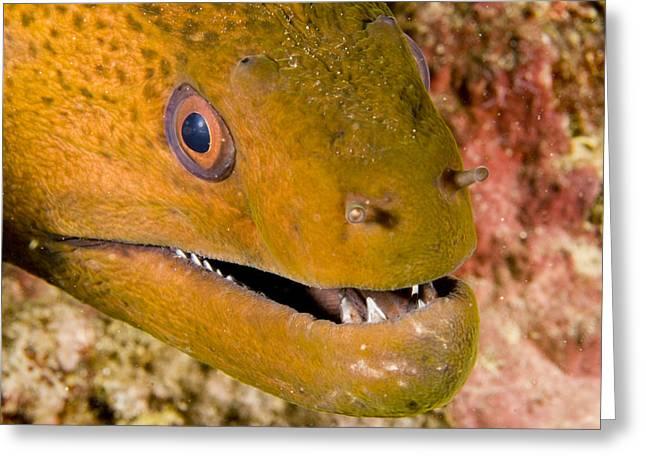 Closeup Of A Giant Moray Eel Greeting Card