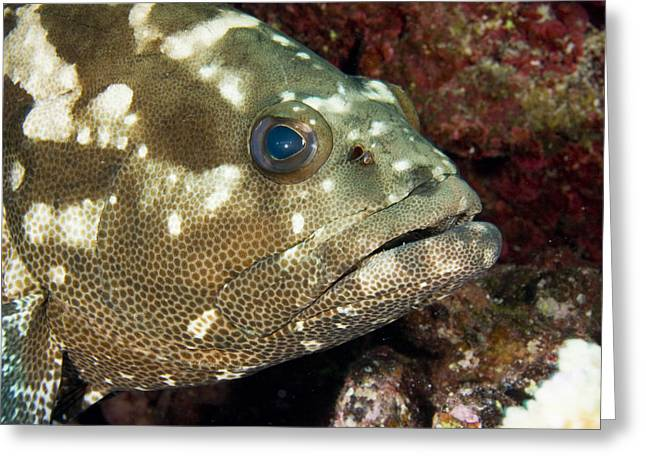 Closeup Of A Marbled Grouper Greeting Card by Tim Laman