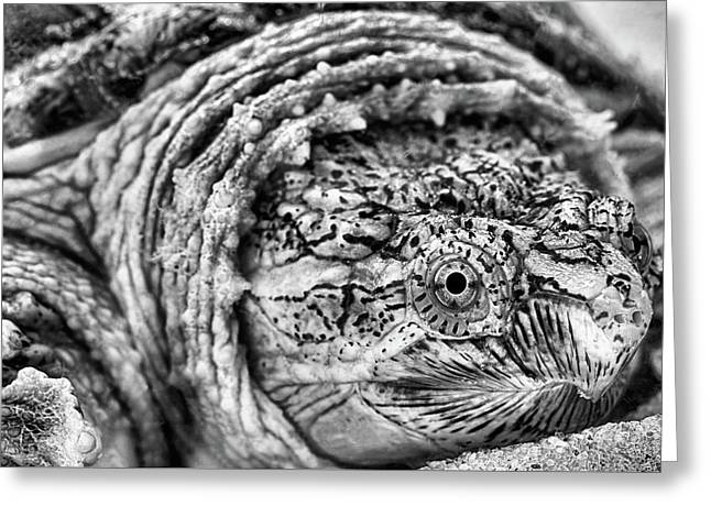 Closeup Of A Snapping Turtle Greeting Card by JC Findley